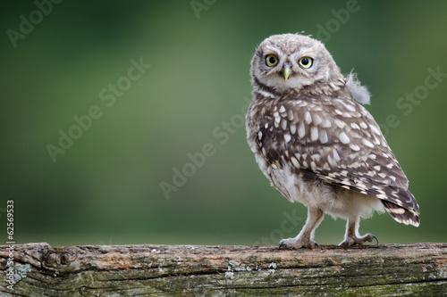Staande foto Uil UK Wild Llittle Owl