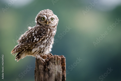 Staande foto Uil A UK wild LIttle Owl