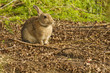 Rabbit in the Bush - Lake Bunga, Victoria, Australia