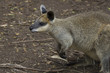 Northern Swamp Wallaby in a Victorian Reserve, Australia