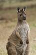An Eastern Grey Kangaroo in Victoria, Australia