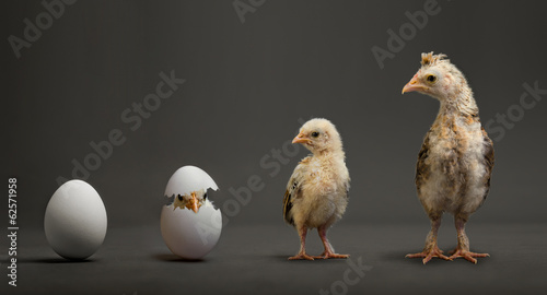 Tuinposter Kip chick and egg