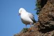 Silver Gull, Phillip Island, Victoria, Australia