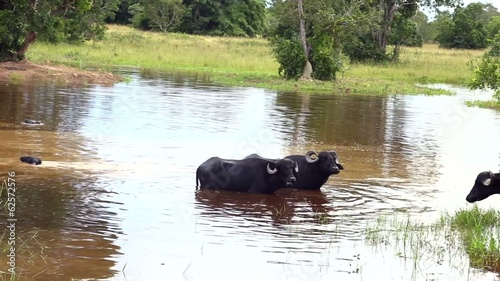 Buffalos on the water in Pantanal, Brazil