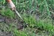 raking of green onion plantation