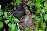 Common blackbird male at nest feeding insects to the chicks