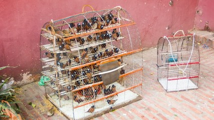 Caged birds for sale (Black-headed Munia). Phnom Penh, Cambodia