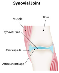 Synovial Joint Labeled Diagram