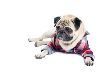 Pug dog in a shirt