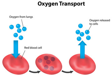 Oxygen Transport in Blood Labeled Diagram