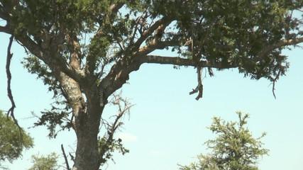 léopard dans un acacia