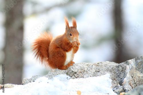 Plexiglas Eekhoorn scoiattolo rosso roditore mentre mangia in stagione invernale