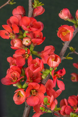 flowering branch chaenomeles