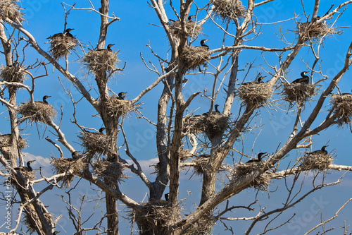 cormorant nests in a tree