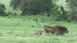 calin entre 2 lions