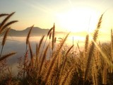 grass flower in sea of fog with golden sunrise