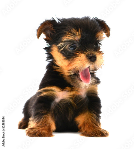 Yorkshire Terrier (2 months) in front of a white background