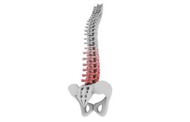 human spinal column..
