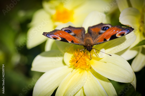 European Peacock butterfly (Inachis io) on Cosmos flower.