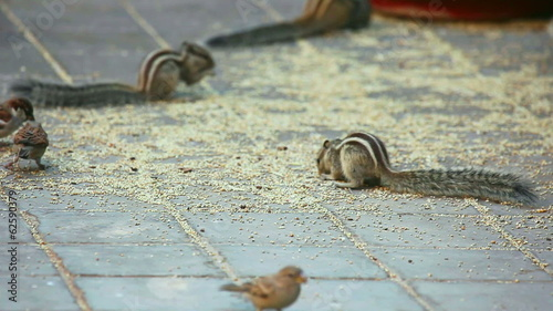 Chipmunks and sparrows eating the grain scattered on the ground