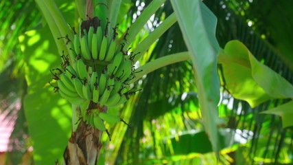 View of banana tree. Thailand.