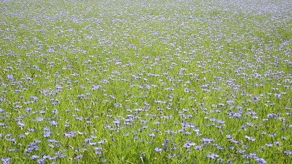 Closeup girl in skirt walk in blossom cornflower flowers field