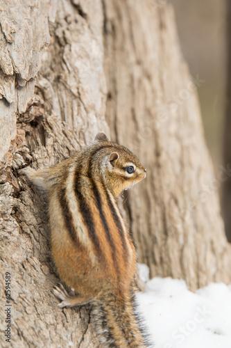 樹の幹につかまるエゾシマリス