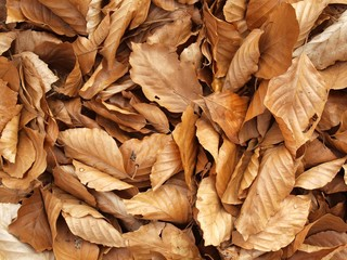 Autumn park ground covered with dry brown beech leaves