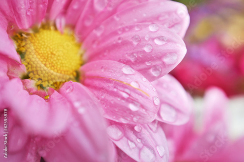 Beautiful spring daisy flowers . macro shoot