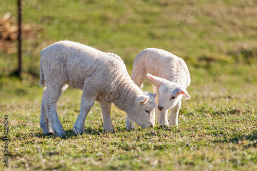 two cute white lambs