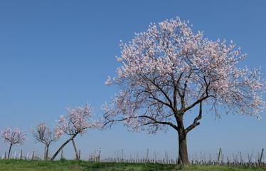 Mandelbaum Mandelblüte Gimmeldingen