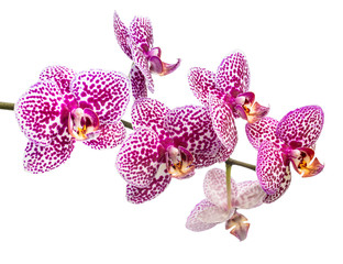 fresh branch of lilac spotty orchid is isolated on white backgro