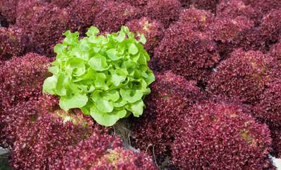 Two color fresh organic vegetable