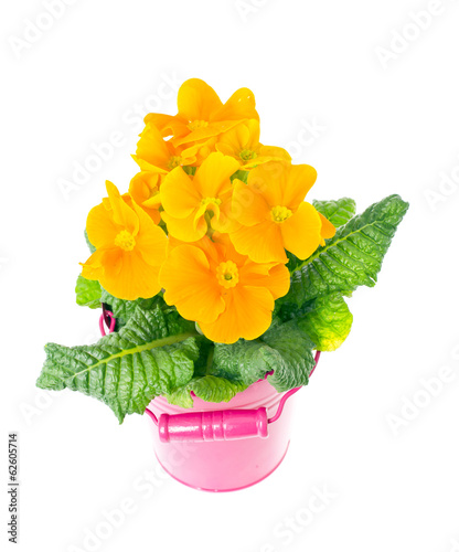 Yellow Primrose Fruticosa Flower Plant Isolated on White Backgro