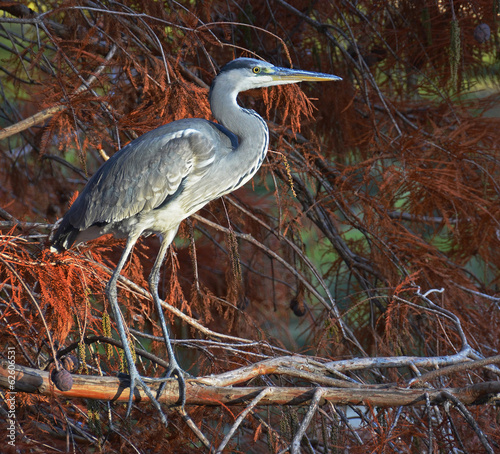 portrait of blue heron