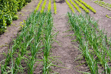 Onion and lettuce plants in vegetable garden.