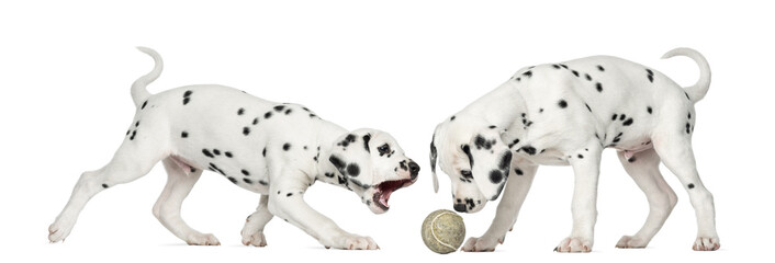 Dalmatian puppies playing together with a tennis ball