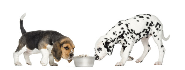 Beagle and Dalmatian puppies sniffing a bowl full of croquettes,