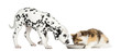 Highland straight kitten and Dalmatian puppy eating from a bowl