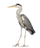 Grey Heron standing, Ardea Cinerea, 5 years old