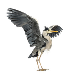 Grey Heron doing a mating dance, Ardea Cinerea, 5 years old