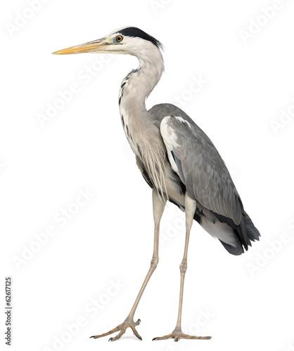 Foto op Aluminium Vogel Grey Heron standing, Ardea Cinerea, 5 years old
