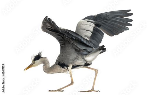 Grey Heron doing a mating dance, 5 years old, Ardea Cinerea