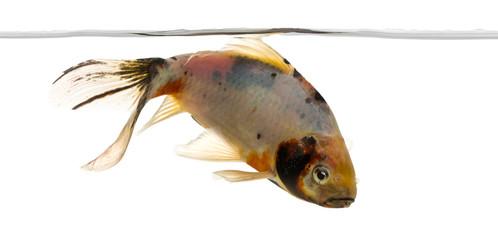 Shubunkin swimming under water line, Carassius auratus