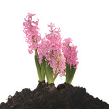 hyacinth in soil