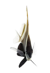 Horned Bannerfish, Heniochus varius, isolated on white