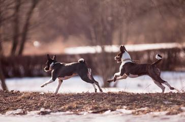 basenji dogs