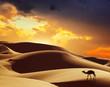 Zdjęcia na płótnie, fototapety, obrazy : Camel in the Sahara desert, Morocco