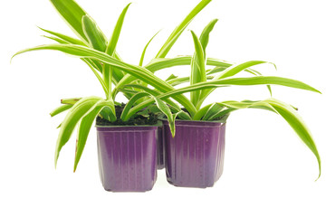 Three pots with seedlings of chlorophytum