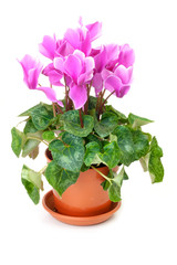 Pink cyclamen in a brown pot